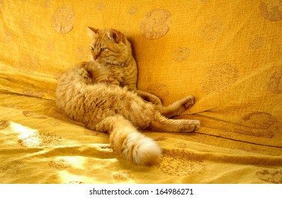 sunny day animal, bright red hair disheveled cat with a bushy tail, sitting on an orange couch