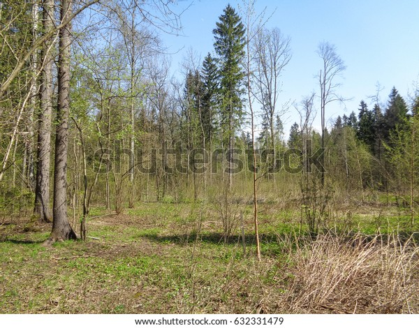 Sunny day in the forest of Russia in spring