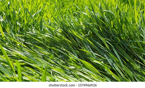 Sunny day fresh green grass background. Wet green grass texture with water drops after rain. Fresh plants background with long blades of grass. Spring growth backdrop. Summer herbs freshness concept