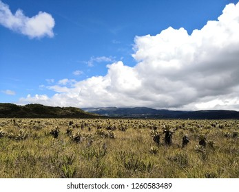 Sunny day in a paramo ecosystem. Endangered neotropical biome by climate change. Endemic biodiversity with frailejon, Espeletia, plant species.