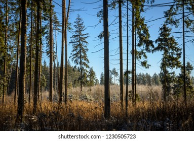 sunny day in the pine forest