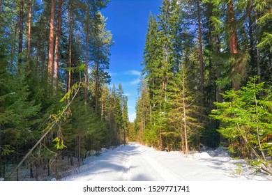 Sunny day in the snowy coniferous forest. Landscape of snow-covered winter coniferous forest.