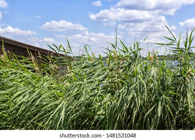 Sunny days, reed at the lake, in front of a blue sky, Mecklenburg, Vorpommern.