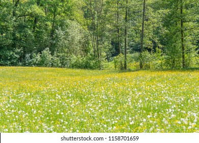 sunny edge of a wood including a flowery meadow at spring time