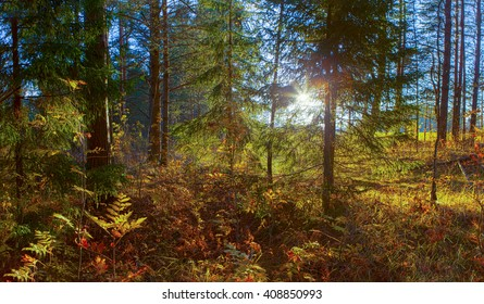 Sunny evening in the forest. Autumn evening.