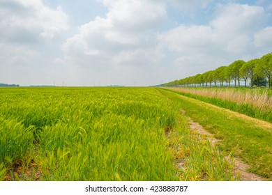 Sunny field with barley in spring