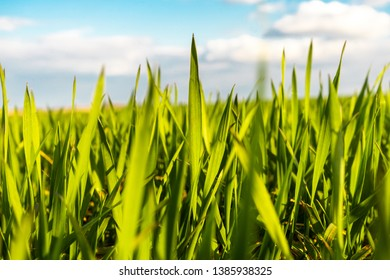 Sunny field of bright green fresh plants. Ecological agriculture concept.