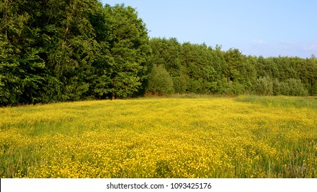 Sunny field with buttercups and wildflowers, trees and blue sky