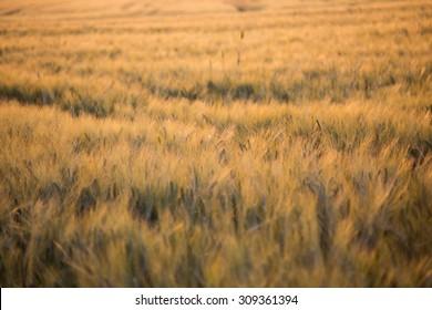 Sunny field in Tuscany, Italy