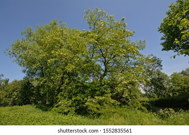 Sunny flowering  black locust tree on a clear blue skyin Bourgoyen nature reserve, Ghent, Flanders, Belgium - robinia pseudoacacia