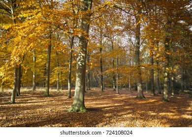 Sunny forest landscape with beech trees in autumn colors in the Netherlands, Europe
