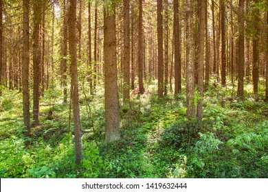 Sunny forest landscape . Spruce forest.