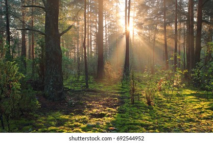 Sunny forest nature. Sunbeams in green forest. Sunny autumn landscape.