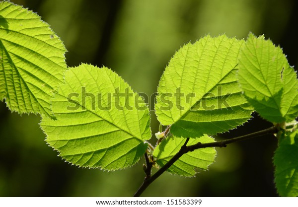 Sunny hazel leaves. Translucent yellow-green hazel leaves on a forest blurred background