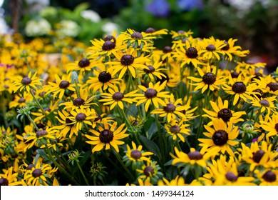 Sunny little goldstar rudbeckia coneflowers