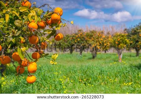 Sunny Morning Orange Garden Sicily Italy Stock Photo (Edit Now ...