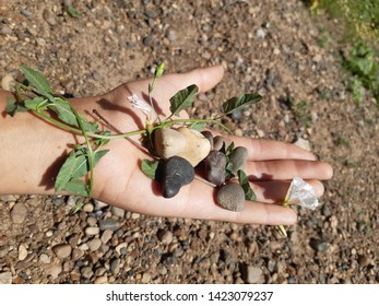 Sunny morning, pebbles and bindweed on the hands, the background is blurred, we stretch our hands to nature