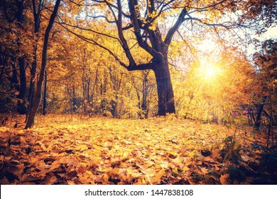 Sunny oak tree in the autumn forest