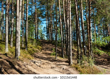 Sunny pine forest with road, Leningrad Region, Russia