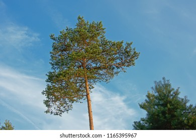 Sunny pine tree crest on a long trunk on a blue sky in Ermenonville forest, Oise, France