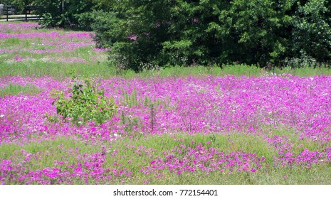 Sunny pink and white roadside field of wild Phlox flowers in central Florida on a Spring afternoon