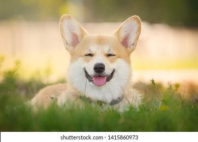 Sunny portrait of the charming Corgi