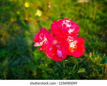 Sunny red rose against blurred background