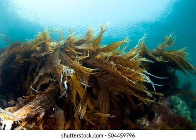 Sunny reef with sea cabbage laminaria