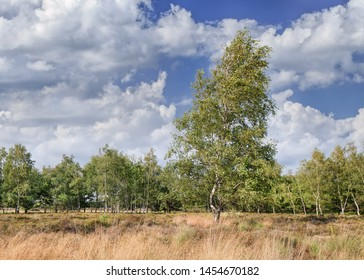 Sunny scenery with birch trees and dramatic clouds, The Netherlands