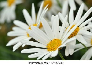 Sunny Side Up Shasta Daisy blossom in the garden