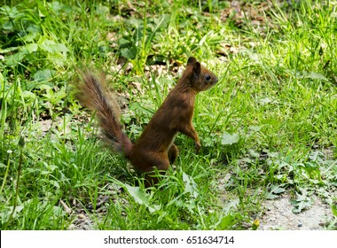 Sunny spring afternoon in the park, in the green grass sits a beautiful, furry, orange squirrel
