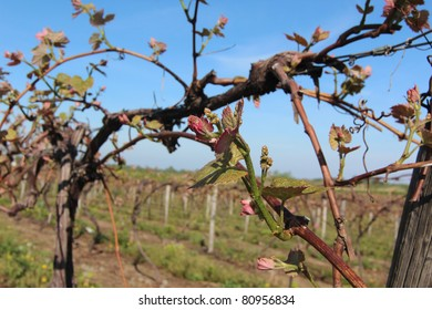 A sunny spring encourages emerging grape vines in vineyards throughout Northeast Ohio and Pennsylvania.  The new growth shows promise of a fine wine season in the Northeast United States.