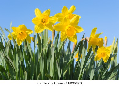 Sunny spring glade with bottom view of beautiful yellow Narcissus flowers against clear blue sky