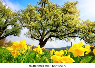 Sunny spring scenery with yellow daffodils on a meadow in the foreground and blossoming trees in the background