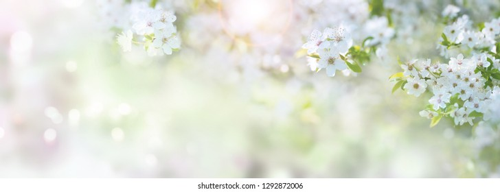 Sunny spring time with white cherry blossoms for a background