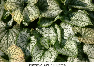 Sunny summer day. Brunnera of a grade Jack Frost. Large juicy leaves with a pattern green a streak on silvery tone. Play of light and shadow.