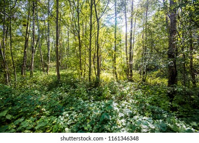 Sunny summer day in the green forest, Latvia