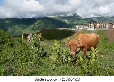 Sunny summer day in mountains with green grass and beautiful cows eating and starring in front of countryside