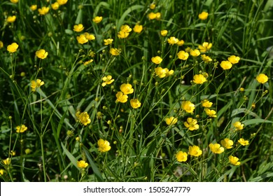 Sunny summer day. Rannculus acris. Field, forest plant. Flower bed, beautiful gentle plants. Yellow flowers, green leaves. Buttercup caustic, common type of buttercups
