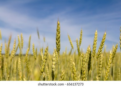Sunny summer day. Wheat field and blue sky.
