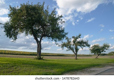 sunny summer evening in rural landscape with apple trees and sunflower field under blue sky with clouds