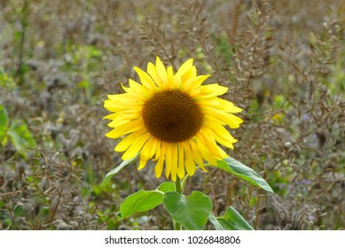 sunny sunflower with leave