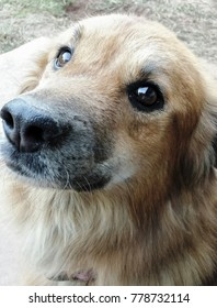 Sunny the Sweetest Golden Retriever/Chow Mix