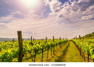 Sunny vineyard on the hills of Vipava valley, Slovenia. Spring rural landscape