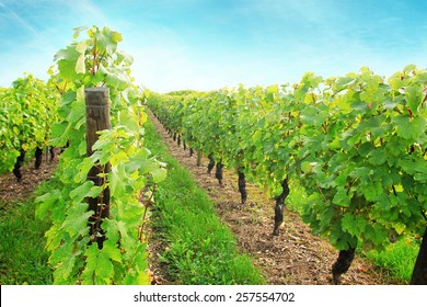 Sunny vineyard with ripe grape in France field