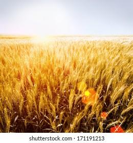 sunny wheatfield