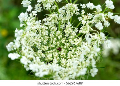 Sunny white Angelica flower cluster macro view against blurred background