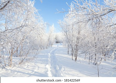 sunny winter day with snow in woods Iceland