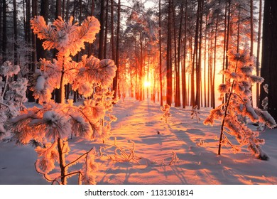 Sunny winter forest. Fluffy snow on trees. Sun beams shining through trees in forest. Beautiful white snow on the ground. Christmas background.