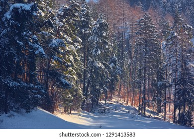 Sunny winter landscape, snowy fir tree forest in Piatra Mare mountain, Brasov county, Romania